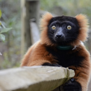 A red tuffed lemur pauses on a boardwalk built especially for his kind at the Lemur Conservation Foundation in Myakka City, Fla. The foundation is home to 51 lemurs and an inexhaustible wealth of knowledge about one of the most endangered mammals on the planet.