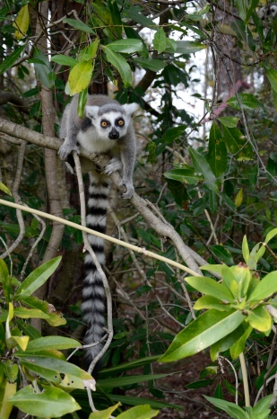 "Penelope Bodry-Sanders of New York was already concerned for Madagascar after her flight over the island gave her a view of its deforestation problems. But when she saw her first lemur, a critically endangered mammal indigenous only to Madagascar, that was it. ""My heart was taken, consumed, stolen. I wanted to do something about it,"" she said. She founded the Lemur Conservation Foundation in Myakka City in 1996, where it now is home to 51 lemurs of different species."